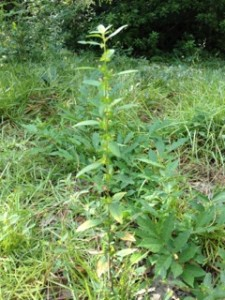 weeds-tall